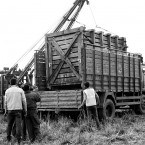 Crate with Rhino Being Loaded Onto Truck for Transport to Manas