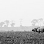 Indian One Horned Rhinoceros, Pobitora WLS, Assam